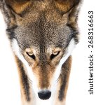 Small photo of Frontal Portrait of Red Wolf in Snow