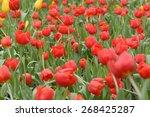 tulips flower beautiful in... | Shutterstock . vector #268425287