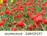 tulips flower beautiful in...   Shutterstock . vector #268429157