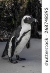 Small photo of close up of a south African penguin