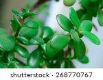 Dollar Plant Or Money Tree...