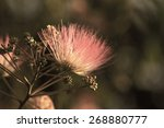 Small photo of Flowers of acacia - close up photo ( Albizzia julibrissin )