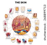 skin anatomy in the round shape ... | Shutterstock .eps vector #268899713