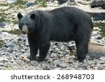 Isolated Black Bear While...