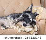 naughty bad schnauzer puppy dog ... | Shutterstock . vector #269130143