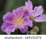 Pride Of India  Flower Queen's...