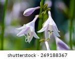 Hosta Blooms In The Garden