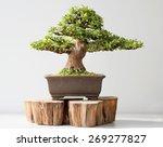 Summer Bonsai Azalea Tree