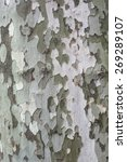 Small photo of Bark platan texture.