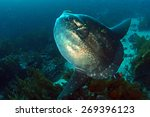 Sunfish Mola Mola In Cleaning...