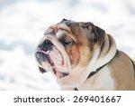 English Bulldog Sad