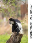 colobus monkey in a tree | Shutterstock . vector #269405867