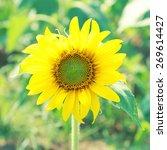 sunflower .  soft focus....   Shutterstock . vector #269614427
