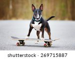 English Bull Terrier Dog On A...