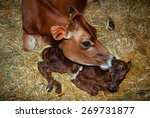 Mother Cow Licking Her Newborn...