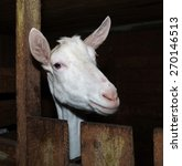 Small photo of Saanen white goat in barn