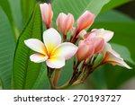 Plumeria Or Frangipani Flower ...