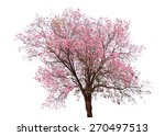 Pink Flower Sour Cherry Tree...