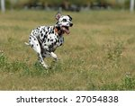 Dalmatian To Run On A Green...