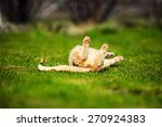 Stock photo funny playful red haired cat on green grass 270924383