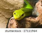 Постер, плакат: Red Tailed Racer Gonyosoma