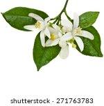 Citrus Blooming Branch Close U...