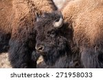 Male Bison Take A Break From...