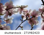 blossoming of magnolia flowers... | Shutterstock . vector #271982423