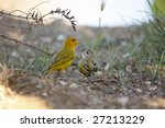 Small photo of Saffron Finch (Sicalis flaveola flaveola), also known as Brazilian Saffron Finch, Sparrow Finch, or Yellow Finch. Parent and juvenile feeding on ground.