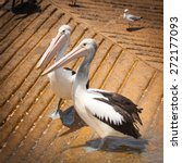Two Cute Australian Pelicans ...