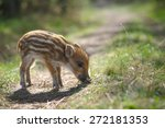 Wild Boar Baby In The Forest ...