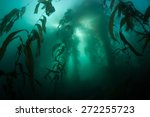 giant kelp  macrocystis... | Shutterstock . vector #272255723