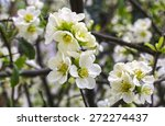 White Quince Flowers In The...