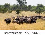buffaloes in kruger national... | Shutterstock . vector #272373323
