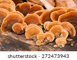 A Woody Shelf Fungi From The...