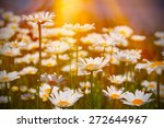 field of daisies and sunshine | Shutterstock . vector #272644967