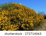 Bright Yellow Flowers Of Gorse...