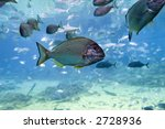 Small photo of Yellow-finned Bream (Acanthopagrus australis) with other fish.