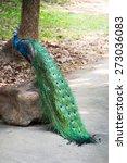 Beautiful Male Peacock Standin...