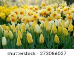 Bright Colorful Yellow Tulips...