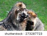 racoon dog | Shutterstock . vector #273287723