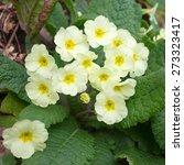 Wild Primroses   Primula...