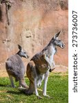 Small photo of two female Red Kangaroo, Megaleia rufa