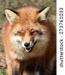 red fox  vulpes vulpes  looks... | Shutterstock . vector #273761033