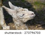 newborn white llama  lama glama ... | Shutterstock . vector #273796703