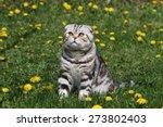 British Shorthair Cat   Cat...