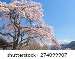 weeping cherry tree and snow... | Shutterstock . vector #274099907