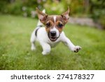 Stock photo a very little puppy is running happily with floppy ears trough a garden with green grass it almost 274178327