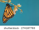 Monarch Butterfly Hanging From...
