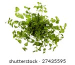oregano plant from above